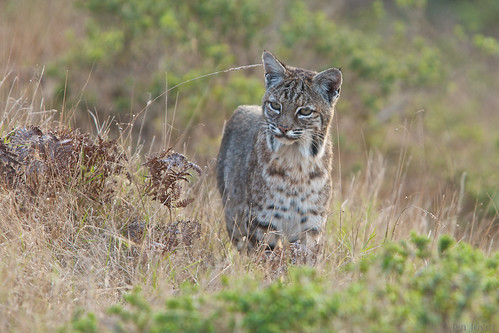 Female bobcat attentive to movements
