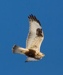 Rough-Legged Hawk in Flight (Phil Armishaw) Tags: county light wild copyright ontario canada bird flying phil hawk flight raptor rough morph juvenile legged 2011 haldimand armishaw