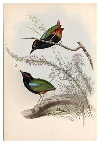 024-Pitta arco iris-The Birds of Australia  1848-John Gould- National Library of Australia Digital Collections