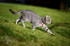 In Stride (Kidzmom2009) Tags: cute grass cat grey furry backyard kitten soft goldeyes domesticanimal redcollar walkingdownhill stripedarms pawinair gettyimageswant kidzmom2009 gettyimageswants kfsphotography