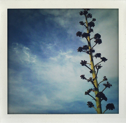 agave bloom