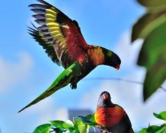 Morning flight (D Maisnam) Tags: bird found rainbow lorikeet parrots bif australasia birdwatcher trichoglossus haematodus slblanding