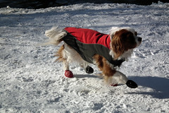 A Dog Dressed in Winter Clothes in a Snowy High Park (Toronto, 2011) (Gustavo Thomas) Tags: winter dog naturaleza snow toronto ontario canada nature animals highpark nieve perro animales invierno 2011