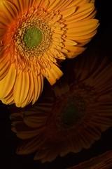 Gerbera (asterb) Tags: usa flower reflection yellow petals petal gerbera northdakota fargo
