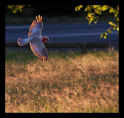 Galah in flight II