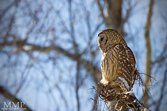 IMG_7505 (Malcolm MacGregor) Tags: lake nashville tennessee owl brentwood barred radnor strix varia 4652 thisweekatthelake