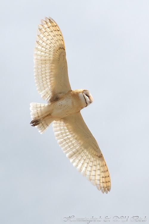 Barn-Owl-051109