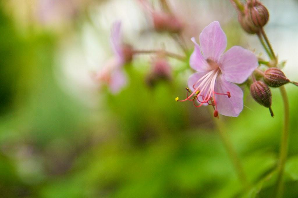 geranium macrorrhizum pink  255