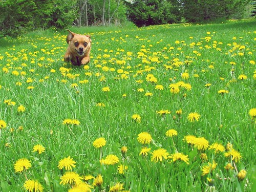 dandelion day - running dog