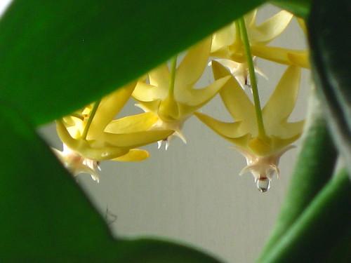 Hoya multiflora [dew 2]