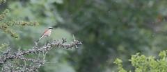 Grauwe Klauwier (Erik van Hoffen) Tags: lanius collurio redbacked shrike grauwe klauwier bird