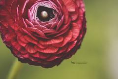 Macro Monday | Ranunculus (The Gaggle Photography | Jessica Nelson) Tags: ranunculus macro macroflowers macroflower jessicanelson gagglephotography