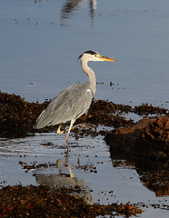 Heron (andywilson1963) Tags: scotland bird wader coast rocks wildlife nature stonehaven heron