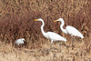 DSC_4891.jpg Great Egrets, Snowy Egret, Dragonfly, Merced N W R (ldjaffe) Tags: dragonfly greategrets mercednwr snowyegrets