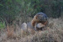10077920 (wolfgangkaehler) Tags: 2016africa african eastafrica eastafrican kenya kenyan masaimara masaimarakenya masaimaranationalreserve wildlife mammal bigcat predator predatory bigfive lions lionpantheraleo rain rainy raining rainstorm wet maleanimal malelion sleepy