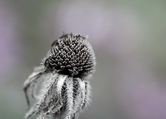Seeded Out (imageClear) Tags: seedhead seeds fall autumn lovely aperture nikon d500 105mm 105mmf28 beauty nature imageclear flickr photostream