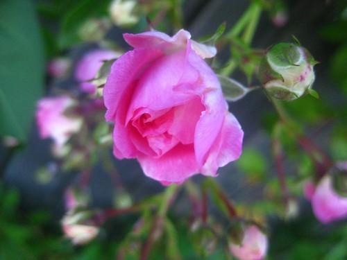 Mini pink rose