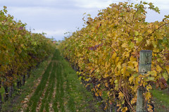 (A Great Capture) Tags: ontario canada vines wine grapes niagaraonthelake on ald ash2276 ashleyduffus ald ashleysphotographycom ashleysphotoscom ashleylduffus wwwashleysphotoscom