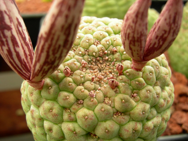 cacti 159