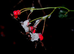 Iced Rose Hips (Rotaermel) Tags: sanfrancisco china california birthday park christmas new city nyc uk trip travel family flowers blue winter wedding friends sunset red party summer vacation portrait england sky people bw italy music food usa dog baby india holiday snow newyork canada paris france flower green london art beach halloween me nature water festival japan night cat canon germany fun evening spain nikon europe florida taiwan australia hohenwettersbach