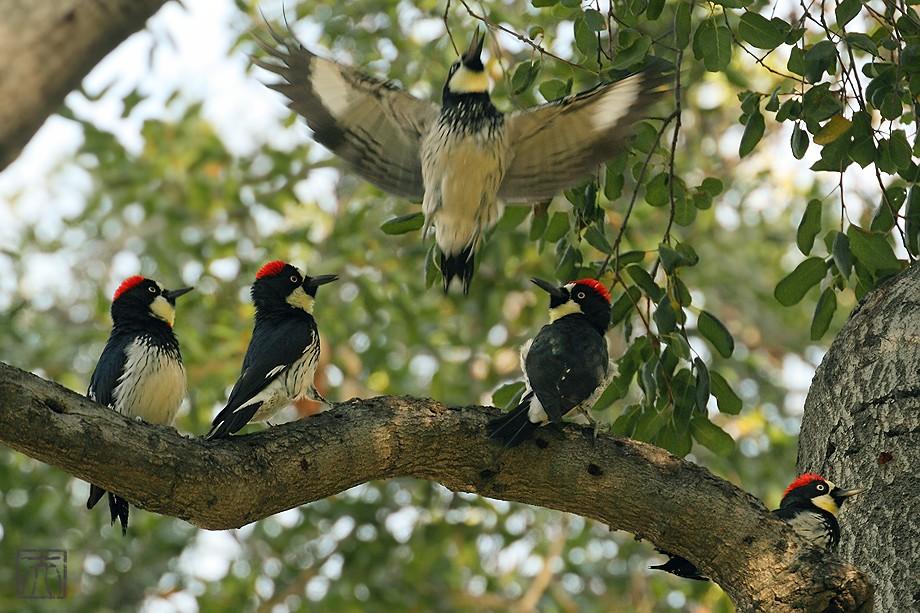 Acorn Woodpecker112810-5