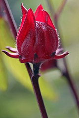 *Roselle*  (sasithorn_s) Tags: friends red plant flower macro nature fruit garden roselle hibiscussabdariffa mywinners overtheexcellence