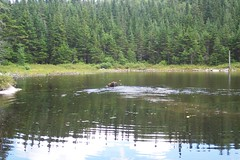 Moose in Moss Pond