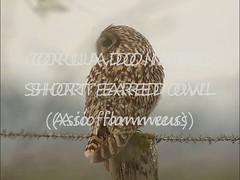 Coruja do nabal - Short eared owl (Asio flammeus) (msmiguel) Tags: portugal birds aves lezíria shortearedowl rnet corujadonabal