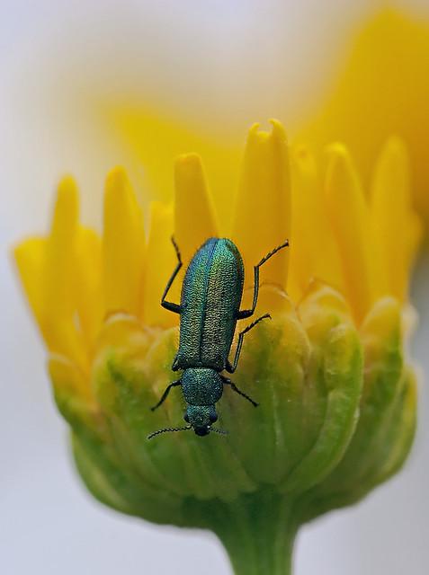 Psilothrix cyaneus