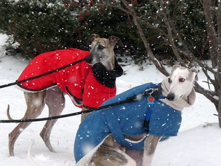 Whippets in Winter