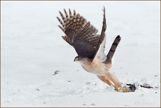Cooper's Hawk with prey   12-16