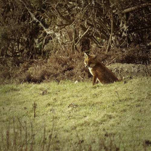 Local fox
