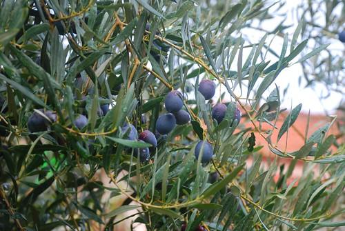 meteora olives