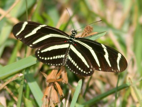 Zebra heliconian 20101220