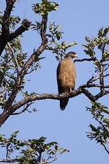 Surveillance [Canon 1000D XS REBEL][Canon 70 200 F4 L] (Mayur Kotlikar) Tags: forest canon rebel eagle 200 l xs 70 f4 karmazari 1000d