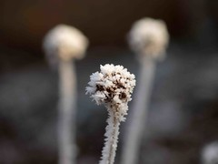 Frosty dof (saxonfenken) Tags: three dof shallow chive 355 twothumbsup bigmomma gamewinner 6968 depthoffieldshallow friendlychallenge pregamewinner frost21st fros6t 355flower 6968flower