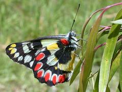 Spotted Jezebel (Boobook48) Tags: australia victoria buterfly spottedjezebel omerton deliasagippe