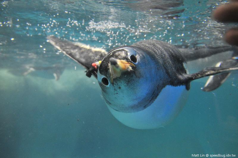 海生館企鵝餵食 (6).jpg