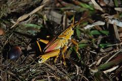 Kissimmee Prairie Grasshopper