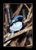 Reinita Azul (Israel Rivera) Tags: puertorico carite migratoria reinitaazul