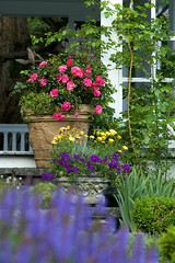 Flower Carpet Pink in container on front steps (tesselaarusa) Tags: pink roses plants flower rose landscape carpet steps container shrub sustainable lowmaintenance groundcover droughttolerant tesselaar easycare flowercarpetroses flowercarpetpink