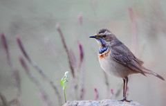 Talking to a sprout (Rajiv Lather) Tags: camera blue winter india male bird nature birds fauna canon photo flora purple image bokeh wildlife indian birding aves photograph conversation talking birdwatching sprout birder newdelhi avifauna birdwatcher migrant passeriformes dwarka birdphotography perchingbirds bluethroat lusciniasvecica muscicapidae
