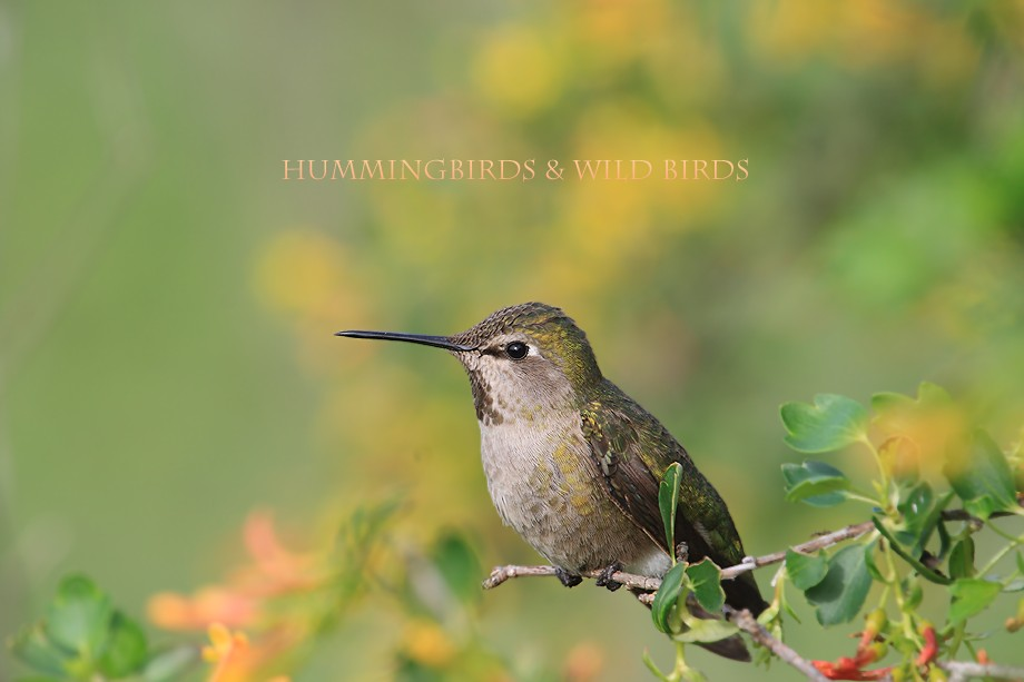 Anna's Hummingbird 022810-52
