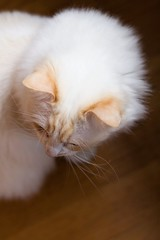 Sigmund's fluffy fur & orangy ears (bhermans) Tags: orange white cat fur ears wit sigmund kater ragdoll oranje ziggie oortjes