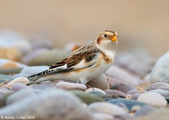 Snow Bunting - Blending in - Explored Front Page! (Ashley Cohen Photography) Tags: winter bird nature flickr britishwildlife monopod snowbunting northwales canon400mmf56l unitedkingdomuk canoneos7d