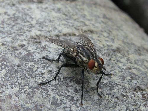 Moucha / Fly
