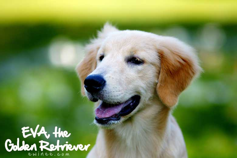 Eva-the-golden-retriever
