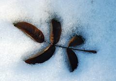 Indruk in de sneeuw (~~Nelly~~) Tags: winter snow hiver sneeuw neige vrijbroekpark