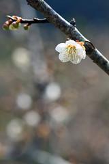 (samyaoo) Tags: bokeh plum taiwan   plumblossoms  nantou shinyi      ef100mmmacrof28
