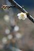 寒梅 (samyaoo) Tags: bokeh plum taiwan 南投 台灣 plumblossoms 梅花 nantou shinyi 信義 牛稠坑 柳家梅園 百微 散景 ef100mmmacrof28